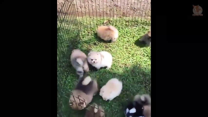 Mini Pomeranian - Funny and Cute Pomeranian Videos #4 - Cute animals