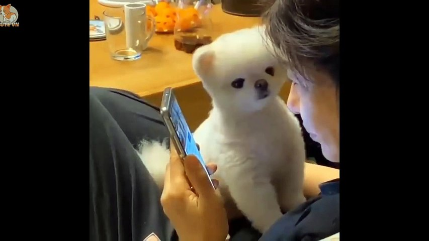 Mini Pomeranian - Funny and Cute Pomeranian Videos #12 - Cute animals