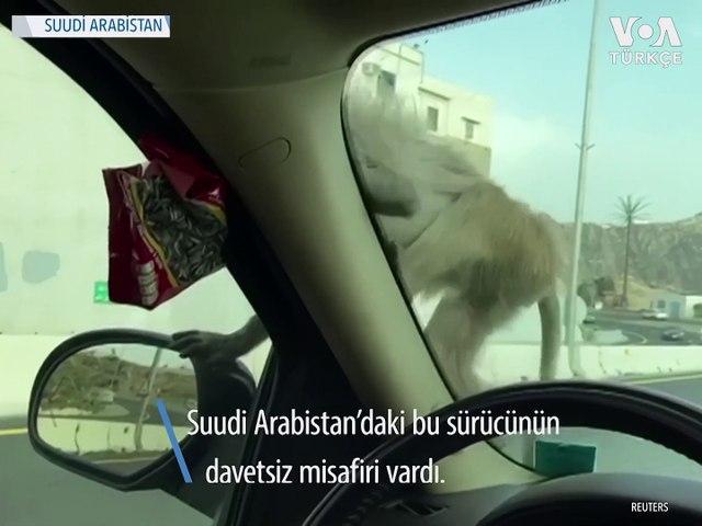 Babunların Suudi Arabistan'da Yiyecek Nöbeti