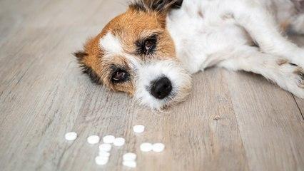 Medicamentos humanos son tóxicos para las mascotas