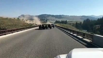 Un troupeau de bisons sur un pont