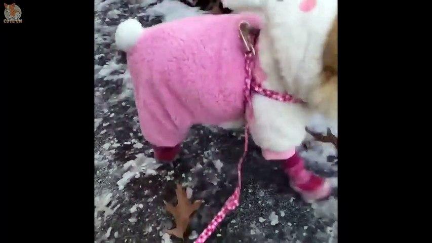 Mini Pomeranian - Funny and Cute Pomeranian Videos #11 - CuteVN