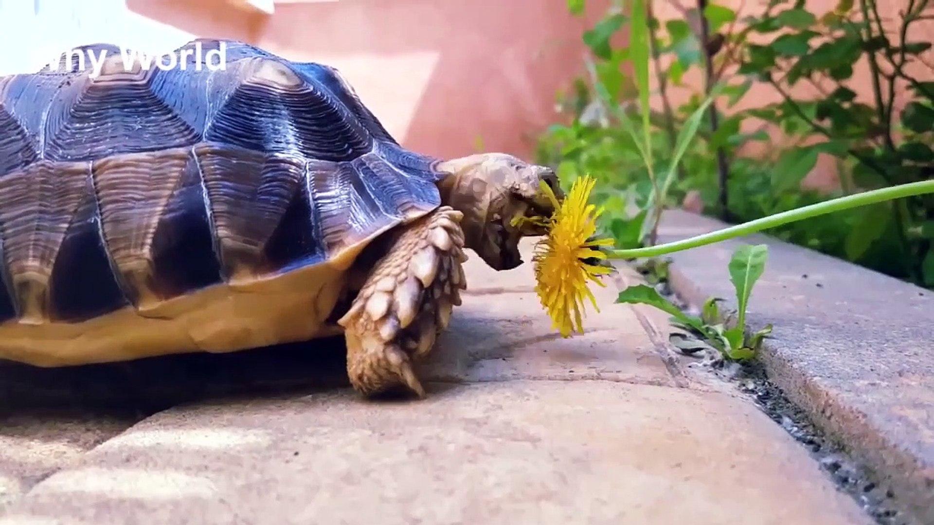 Funny Turtles – Cute Tortoises Video – Funny Turtle & Cute Tortoise Videos
