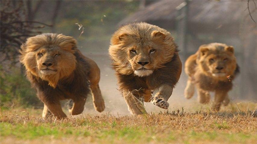 शेर झुंड में हमेशा क्यों रहते हैं ? Lion interesting facts | Why Lion haunting in group | Boldsky