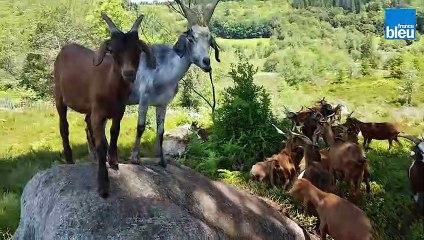 En Haute-Vienne, un troupeau de chèvres pour préserver la lande de la réserve naturelle des Dauges
