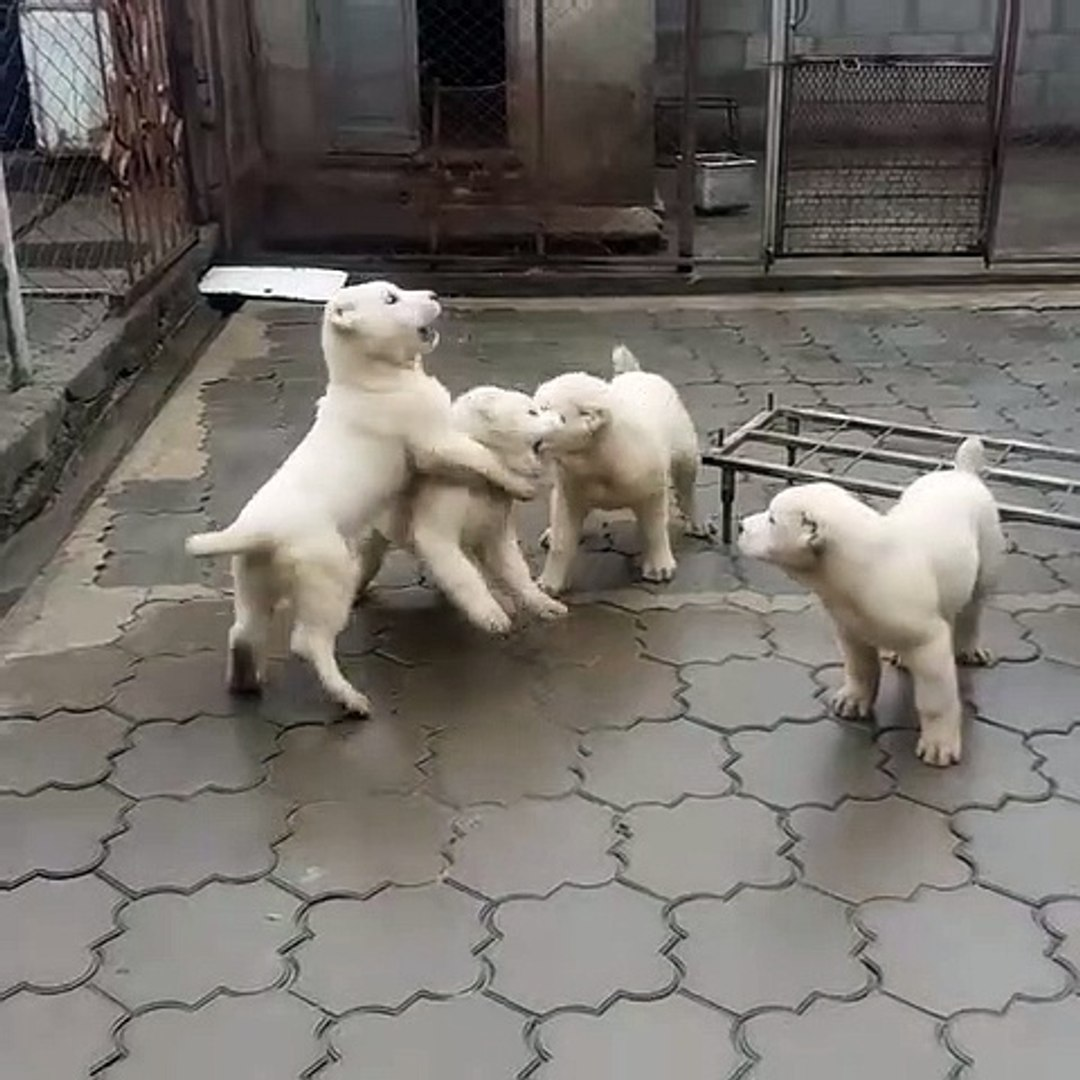 ALABAY COBAN KOPEK YAVRULARI EGZERSiZLERi - ALABAi SHEPHERD DOG PUPPiES EXERCiSE