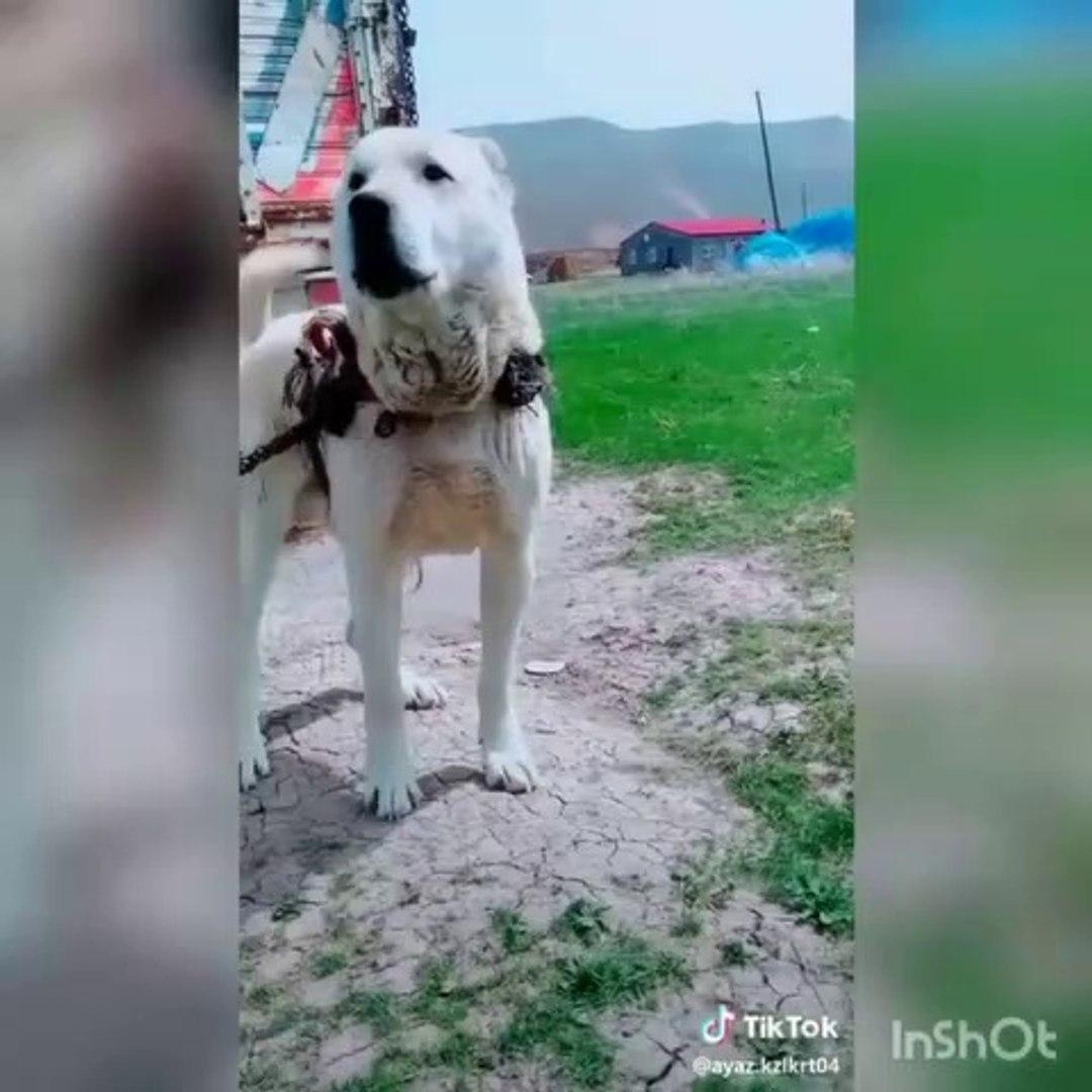 ADAMCI AKBAS COBAN KOPEGi - ANATOLiAN SHEPHERD AKBASH DOG