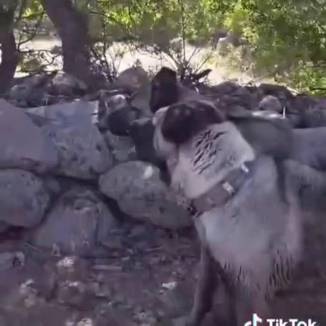 KANGAL KOPEKLERiNiN LiDER KiM GUC YOKLAMASI - ANATOLiAN SHEPHERD KANGAL DOGS