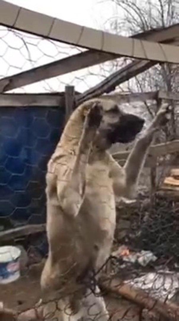 ADAMCI DiSi SiVAS KANGAL KOPEGi - ANGRY SiVAS KANGAL LADY DOG