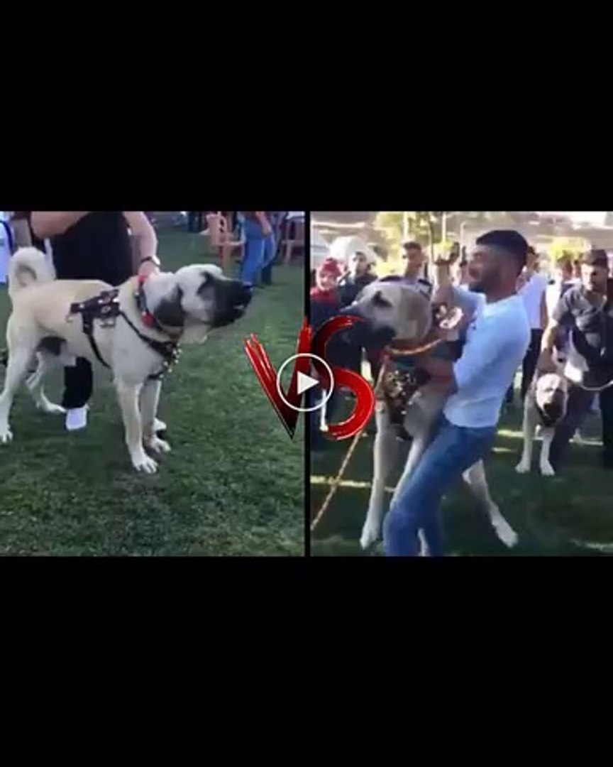 ANADOLU COBAN KOPEKLERi ATISMA vs - ANATOLiAN SHEPHERD DOG vs