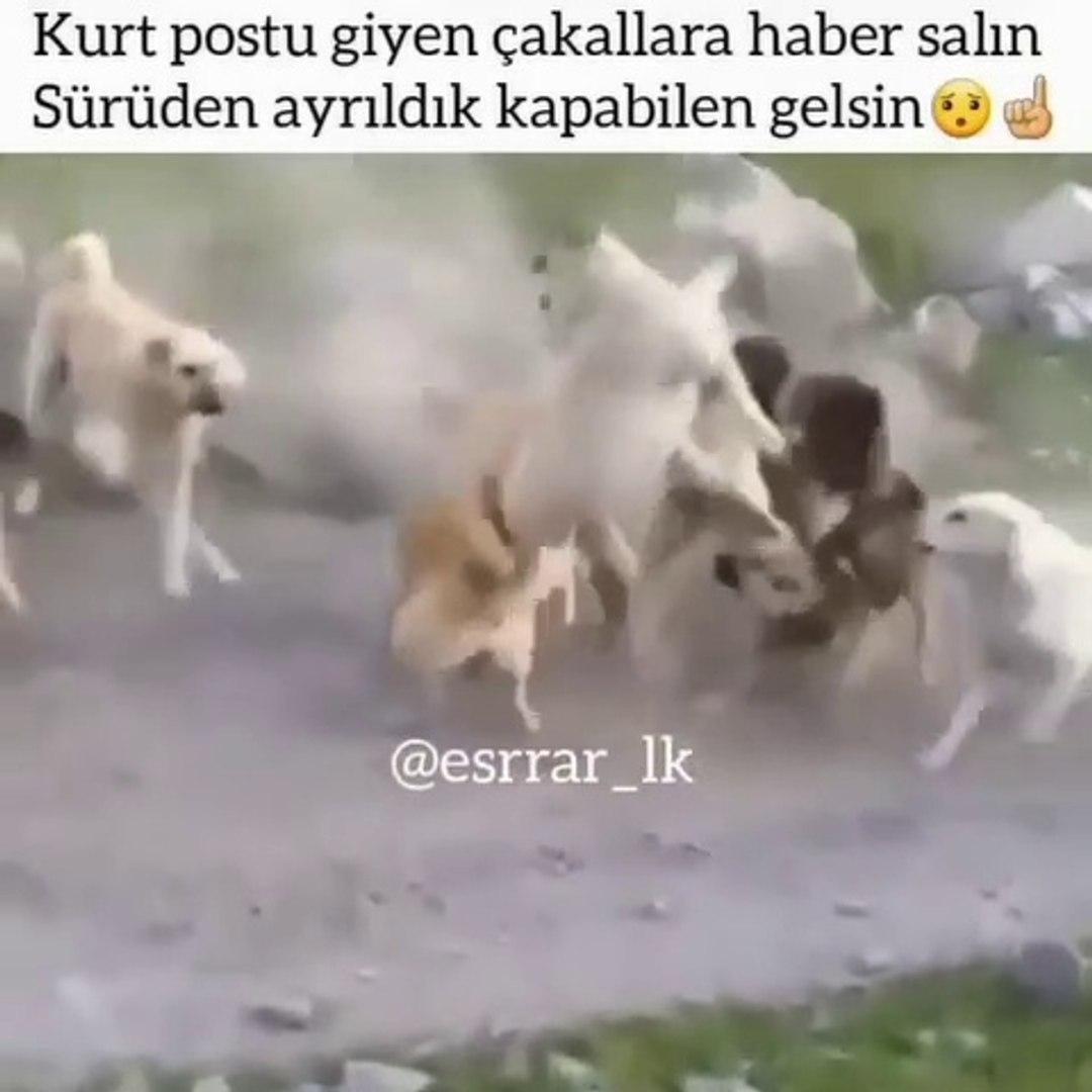 OLAY BUYUK COBAN KOPEKLERi BiRBiRiNE GiRDi - SHEPHERD DOGS VS at STREET