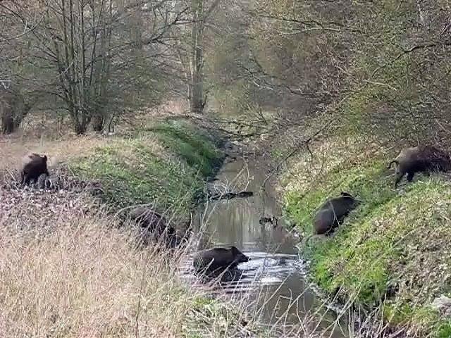 Une grande famille de sangliers traverse la rivière