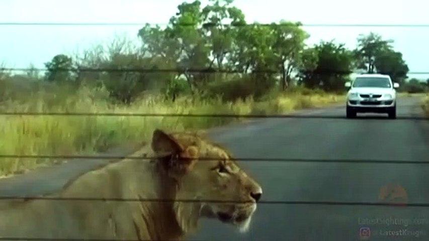 Ce lion aime bien les pneus... un peu trop
