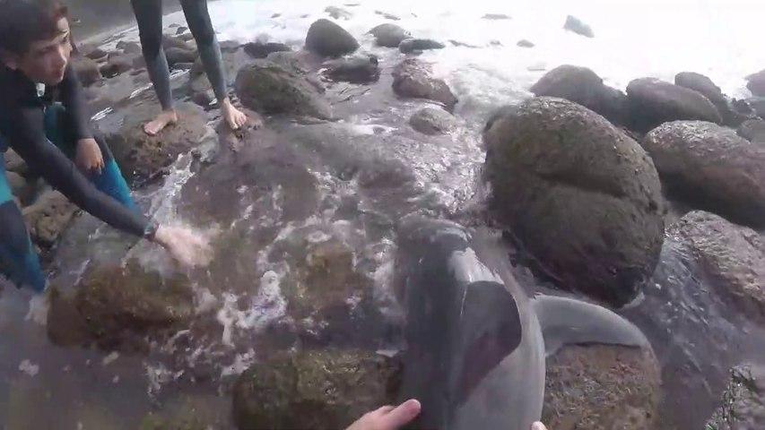 Des surfeurs sauvent un bébé grand requin blanc échoué