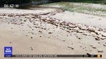 해변 뒤덮은 갈색 띠…서해에도 괭생이모자반