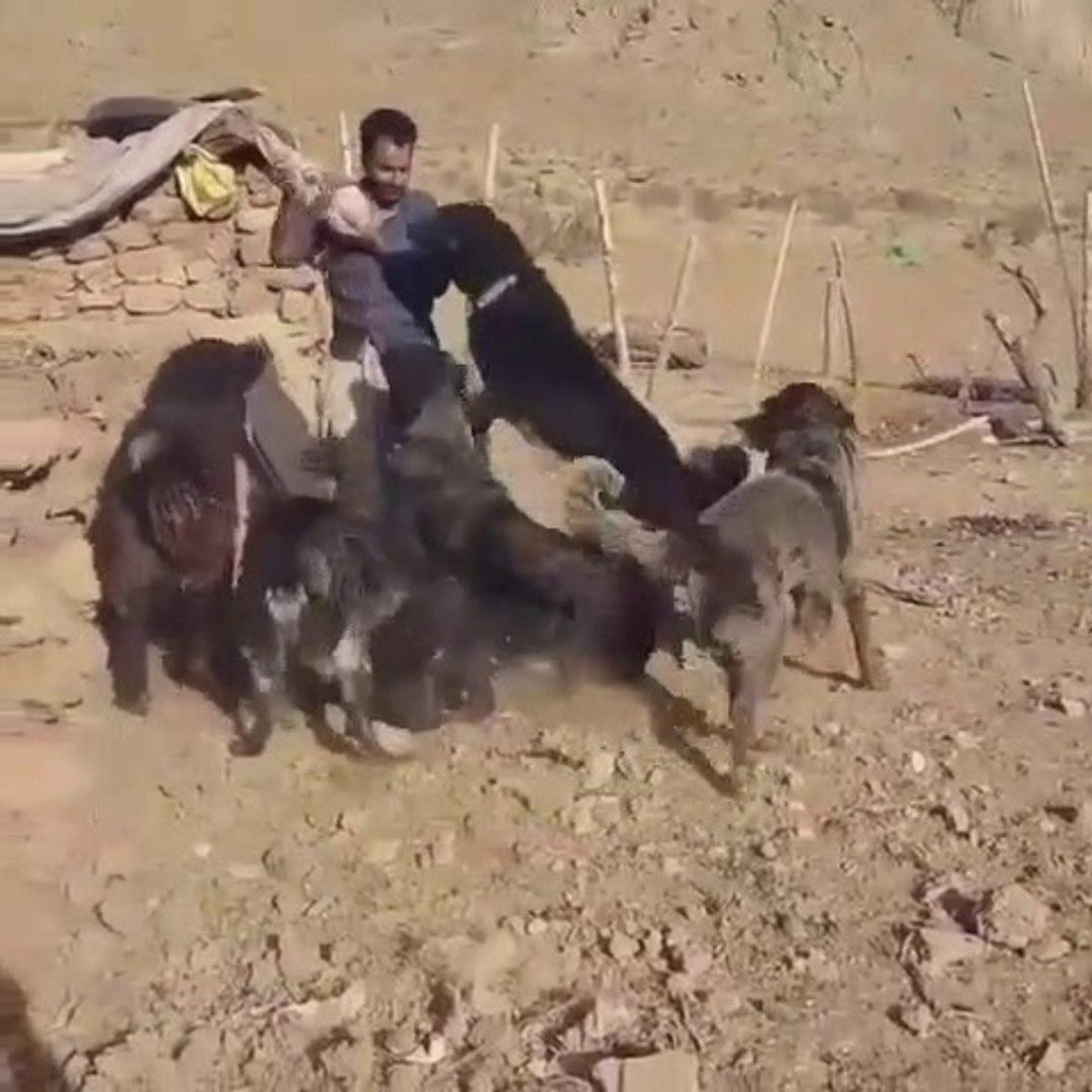 iRAN SARABi COBAN KOPEKLERi - PERSiAN SARABi SHEPHERD DOGS