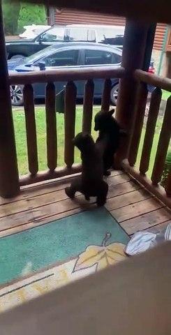 Elle trouve 2 oursons en train de jouer sur sa terrasse. Moment magique