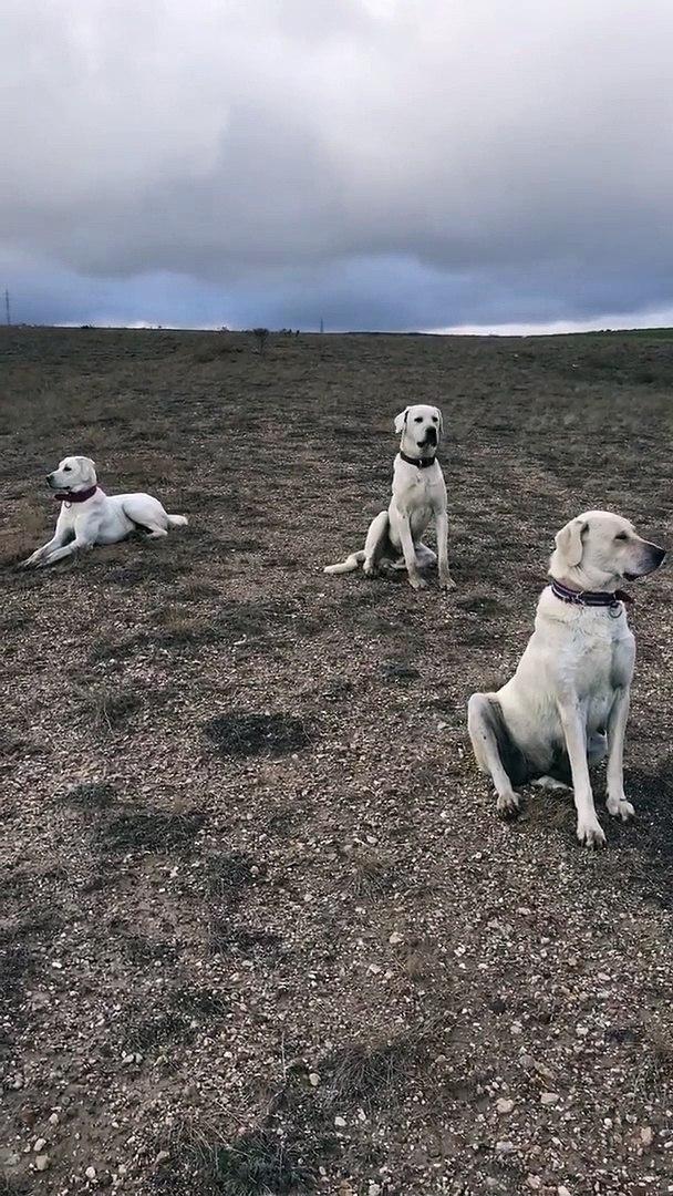 AKBAS ve COBAN KOPEKLERi GOREV BASINDA HAZIR KITA - AKBASH and SHEPHERD DOG at MiSSiON