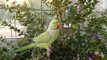 Talking Indian Ringneck Parrot