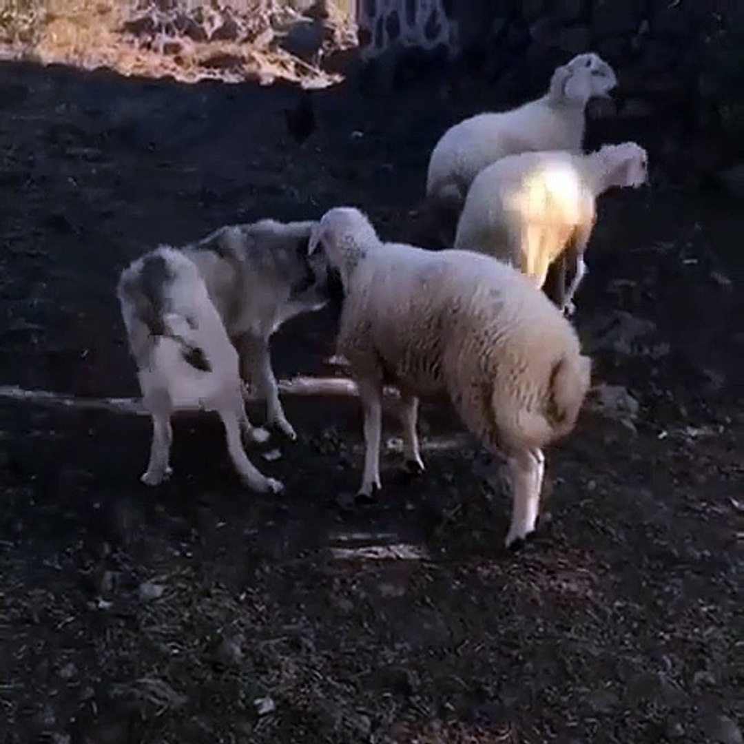 KANGAL KOPEGi ve KOYUNUN DOSTLUĞU - KANGAL DOG and SHEEP FRiEND