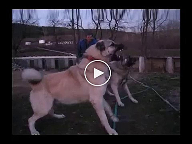 KIZGIN SiVAS KANGALLAR - ANGRY SiVAS KANGAL DOGS