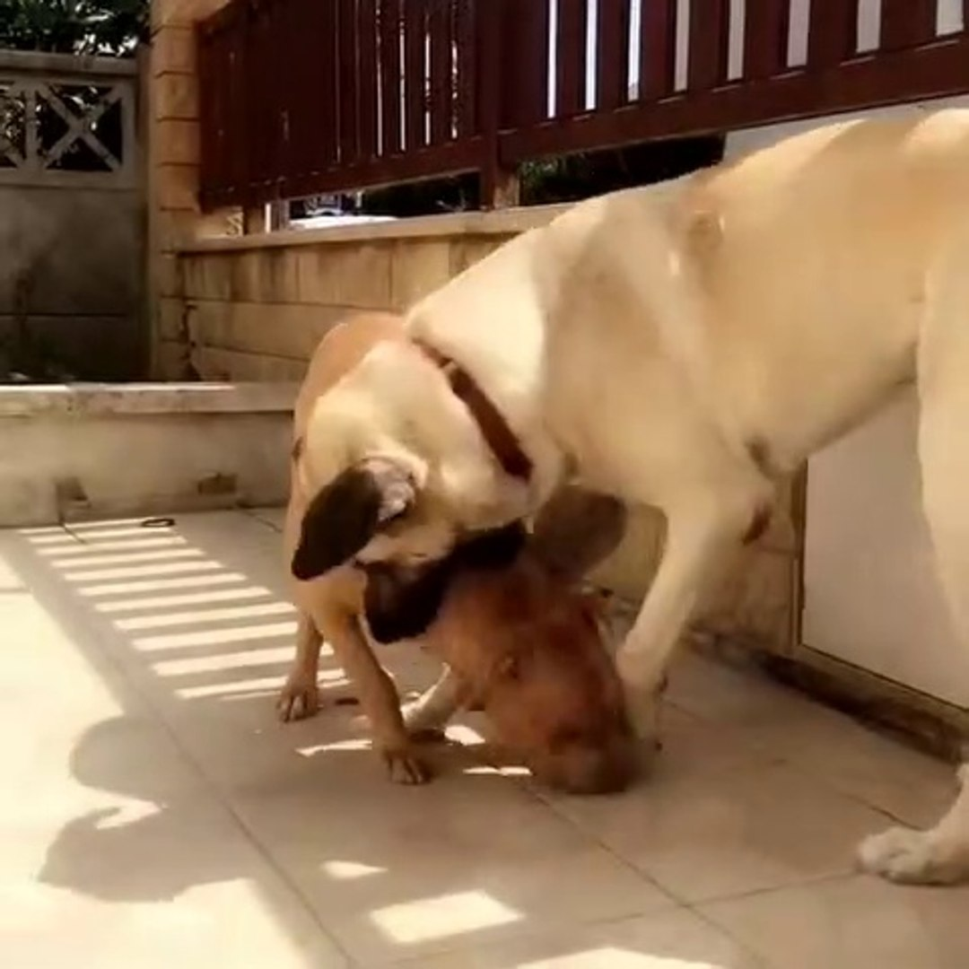 PiTBULL TERRiER ve ANADOLU COBAN KOPEGi - PiTBULL TERRiER vs ANATOLiAN SHEPHERD DOG