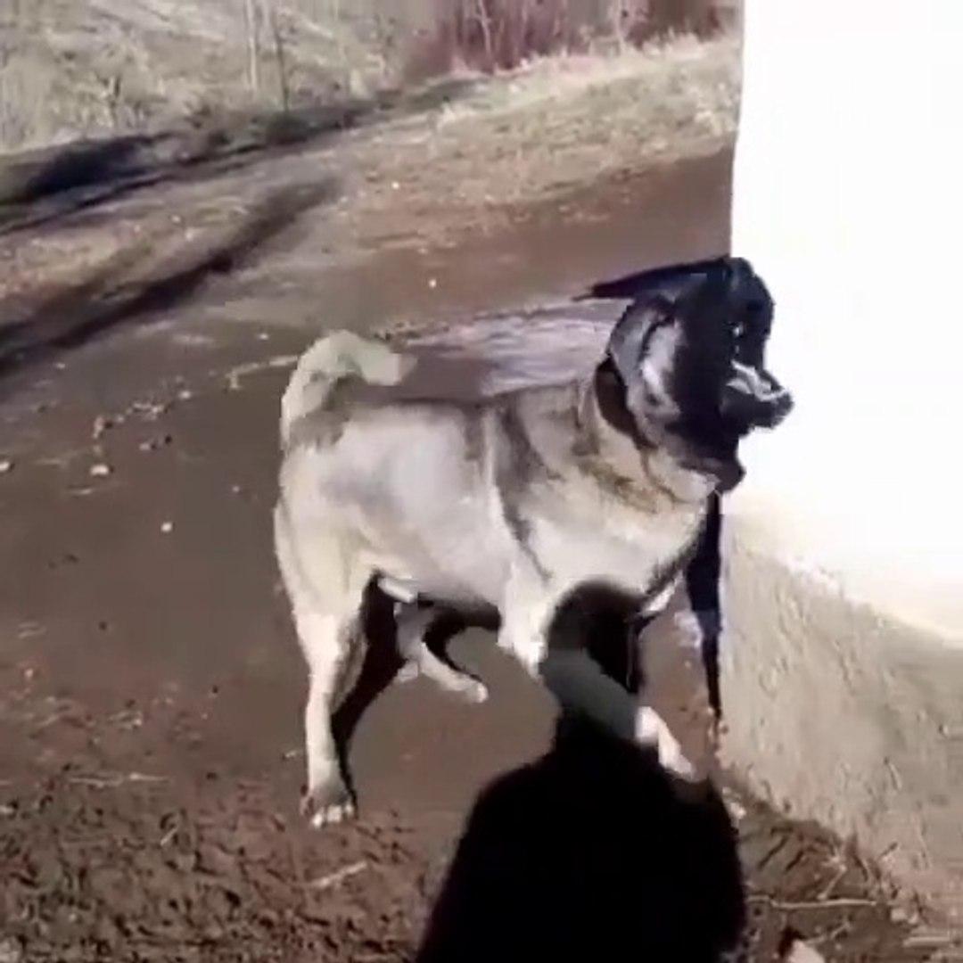 ADAMCI SiVAS KANGAL KOPEGi - ANATOLiAN SHEPHERD SiVAS KANGAL DOG