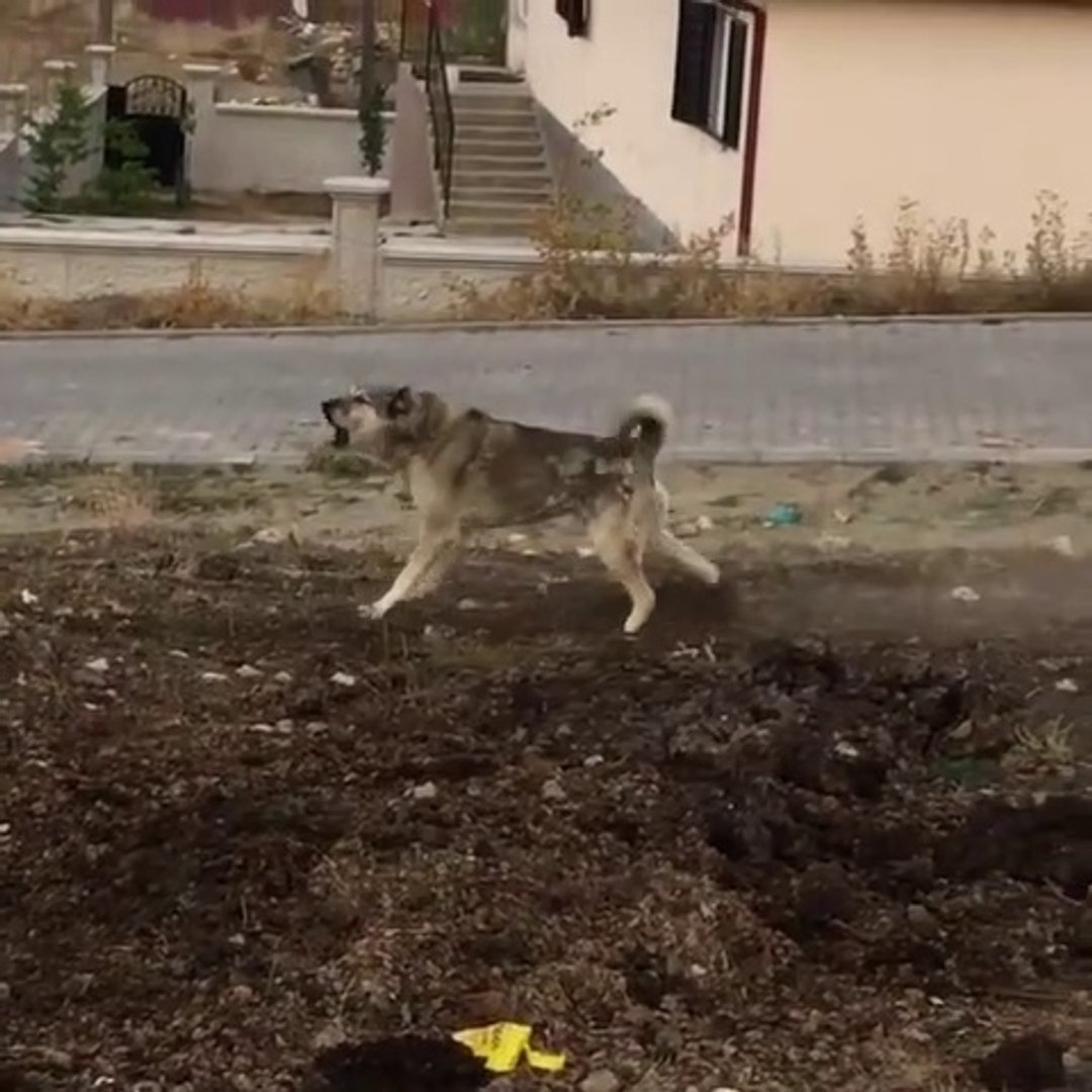 4*4 ESKi DAMAR ANADOLU COBAN KOPEGi - 4*4 ANATOLiAN SHEPHERD DOG