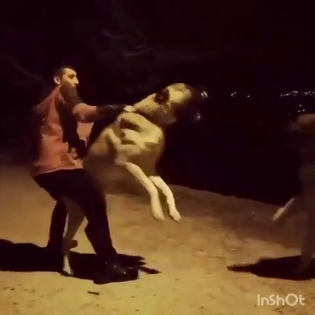 GECE GECE DEV ANADOLU COBAN KOPEGi - ANGRY ANATOLiAN SHEPHERD DOG at NiGHT