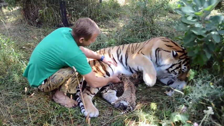 Ce tigre laisse son soigneur caresser ses tigrons... Belle preuve de confiance
