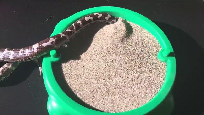 Ce petit serpent adore se cacher dans son bac à sable