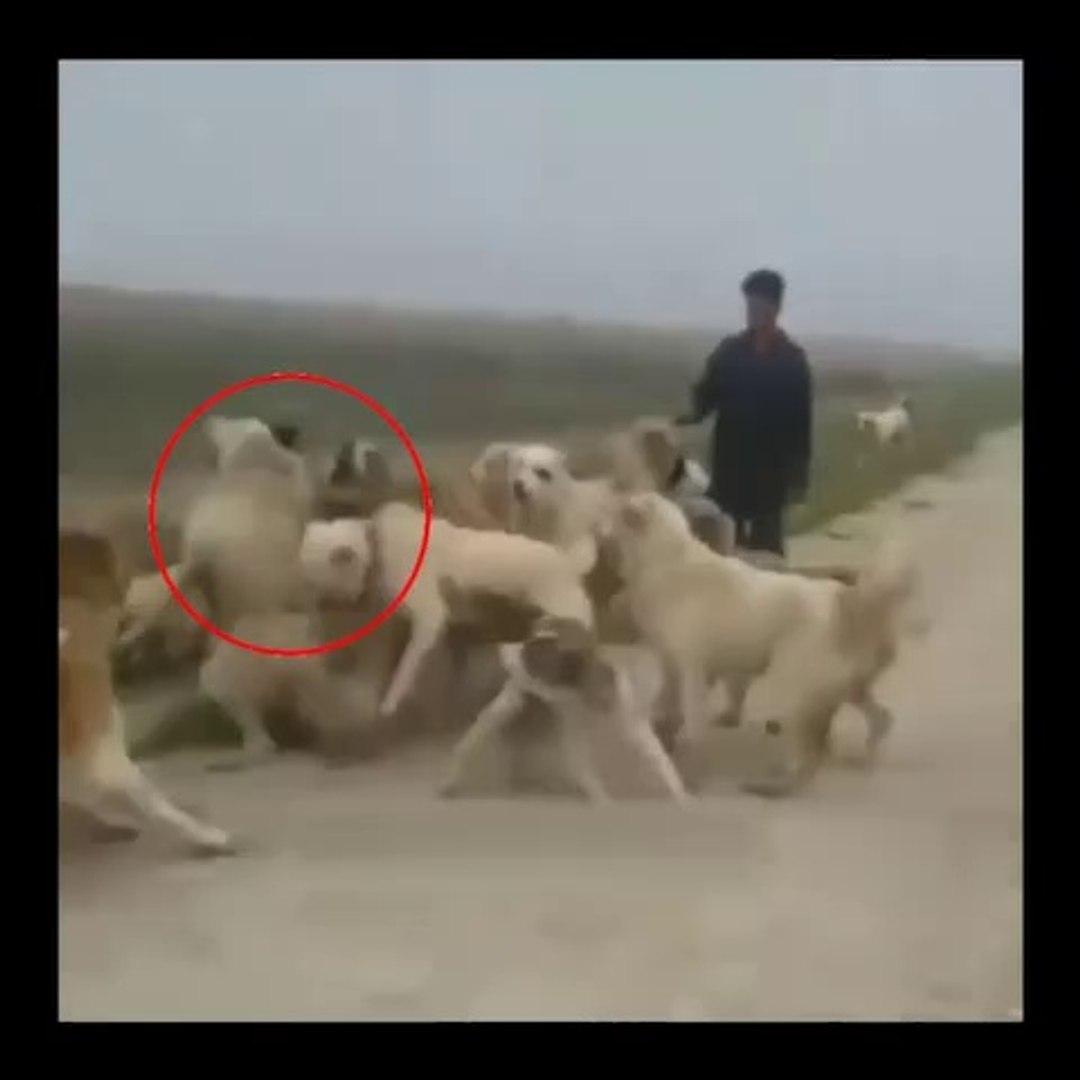 iRAN COBAN KOPEKLERi SERT KARSILASMALARI - PERSiAN SHEPHERD DOG VS