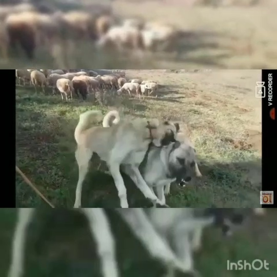 KANGAL ve COBAN KOPEKLERiNDEN BUYUK DUELLO - KANGAL and ANATOLiAN SHEPHERD DOGS BiG SiNGLE COMBAT