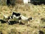 Chèvres malines