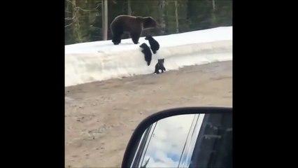 Cet ours le fait bien comprendre : il ne faut pas s'approcher de ses petits