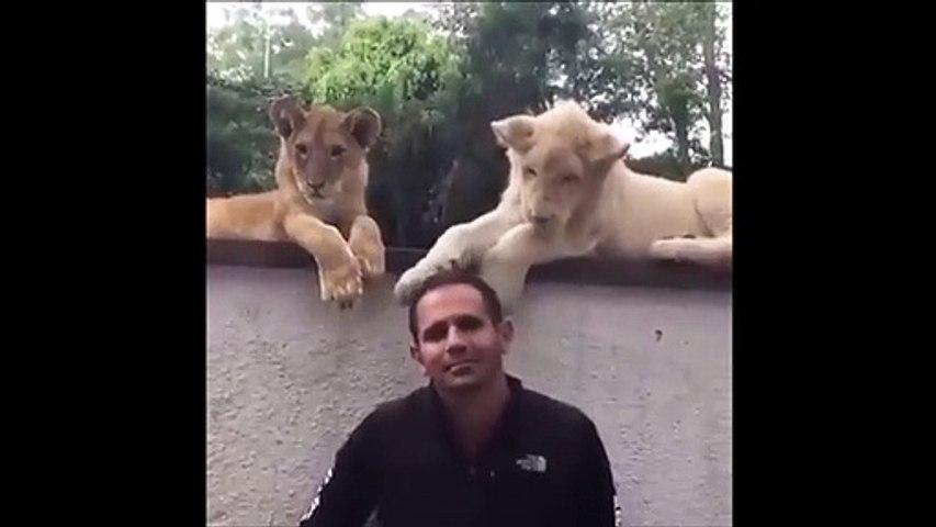 Ce lionceau joue avec la tête de son dresseur