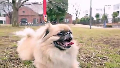 lovely dog  poodle toy animal