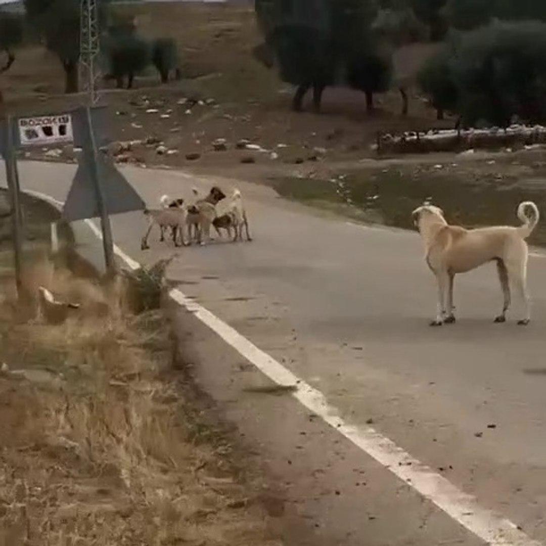 KANGAL KOPEKLERi ve ANADOLU COBAN KOPELERi YOL KARSILASMA - KANGAL DOGS and ANATOLiAN SHEPHERD DOGS