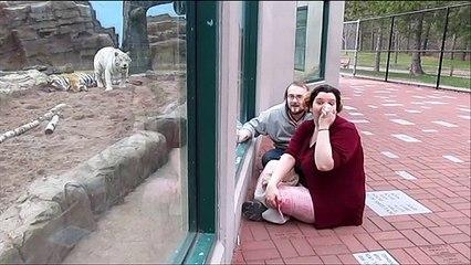 Ce tigre blanc a fait une belle frayeur à ces touristes