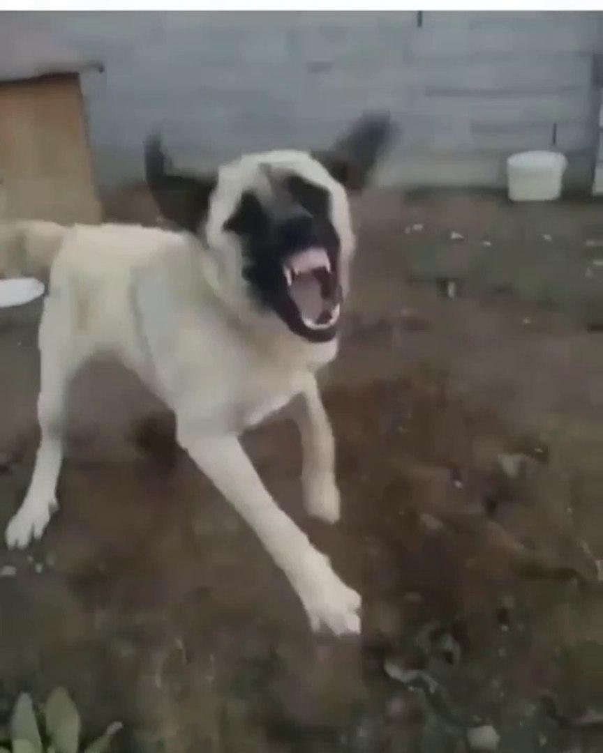 SERi CILDIRMIS ANADOLU COBAN KOPEGi - VERY VERY ANATOLiAN SHEPHERD DOG