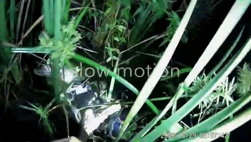 Il sauve un alligator sur le point d'être dévoré par un python