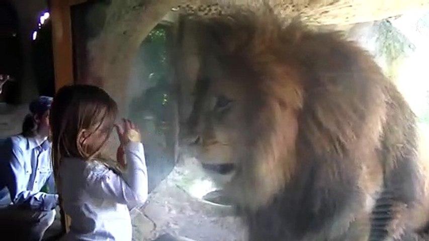 Ce lion déteste les fillettes