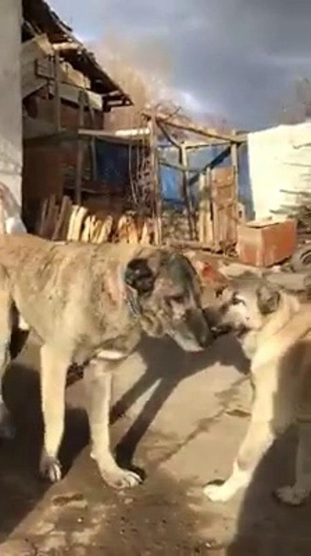 SAFKAN KANGAL KOPEGi - QUALiTY PURE BRED KANGAL DOG