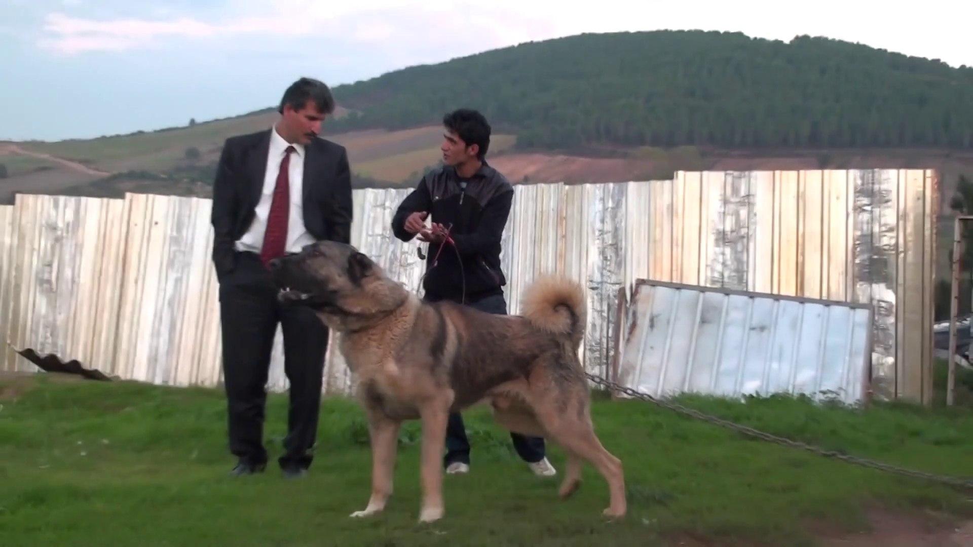 TAM SiMiT KUYRUK ANADOLU COBAN KOPEGi - GiANT and ANGRY ANATOLiAN SHEPHERD DOG