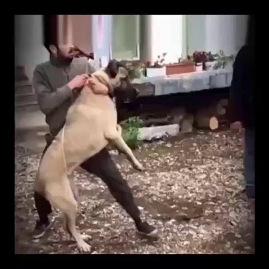 ZOR ZAPTEDiLEN KANGAL KOPEGi - VERY ANGRY KaNGAL DOG