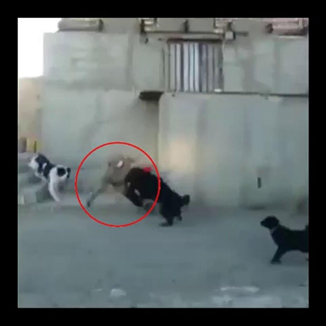 iRAN SARABi COBAN KOPEKLERi ve MANKEN - SARABi SHEPHERD DOGS vs MODEL