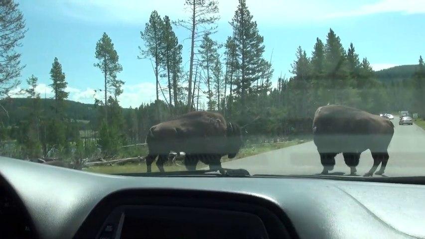 Cet automobiliste tombe sur des bisons très en colère en pleine route