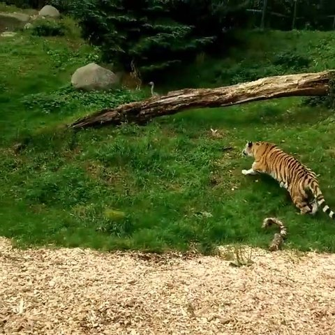 Un héron a la mauvaise idée de se poser dans l'enclos des tigres