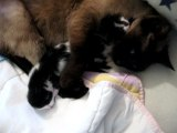 maman chat et ses chatons