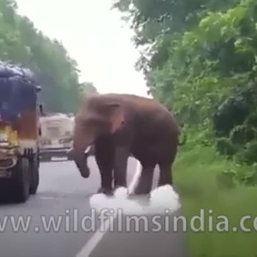 Wild Elephant helps himself to potatoes from truck on highway